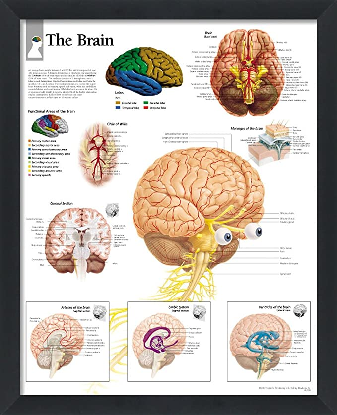 Amazon.com: The Brain Framed Medical Educational Informational ...