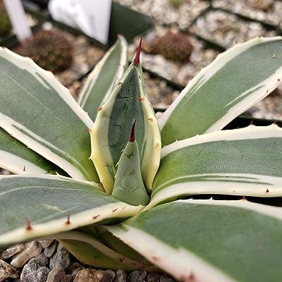 Agave applanata, Cream Spike Succulent Plant - 3.5 inch Pot (2 Plants) : Garden & Outdoor