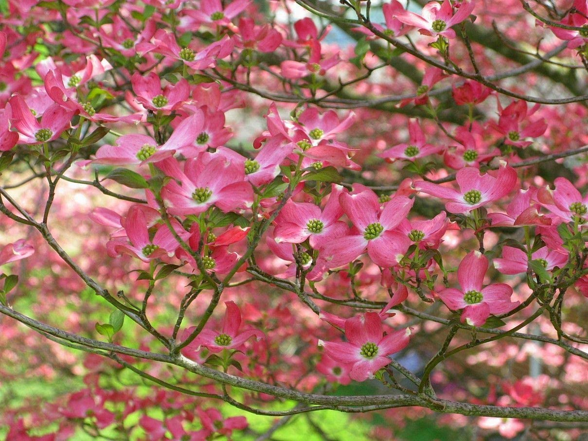 Amazon Com Mabes Warehouse 5 Pink Kousa Dogwood Seeds Tree