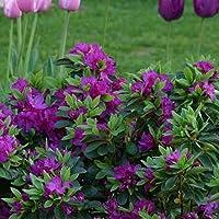 Azalea púrpura, arbusto japonés de hoja perenne, planta