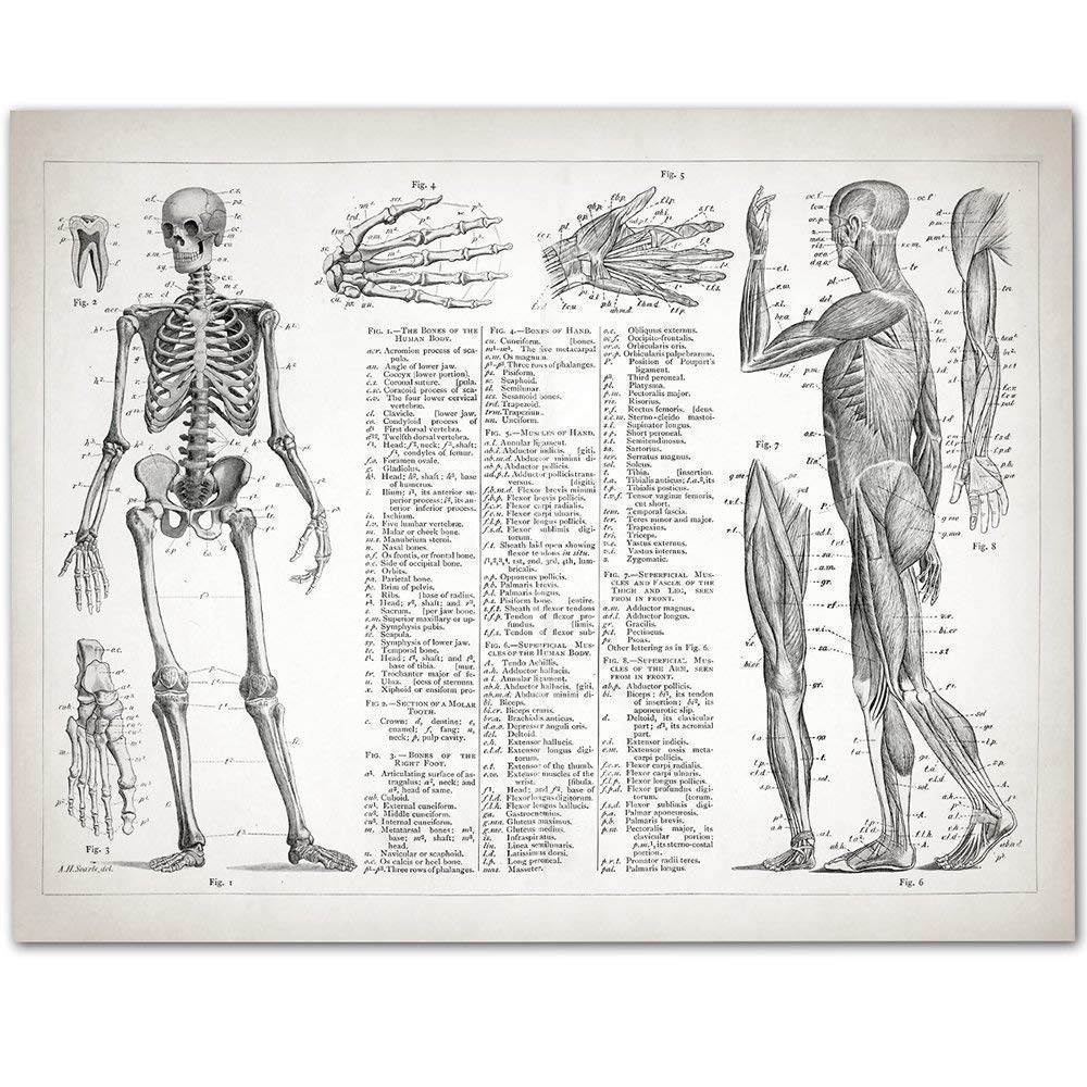 Amazon Human Anatomy Muscular And Skeletal Systems 11x14