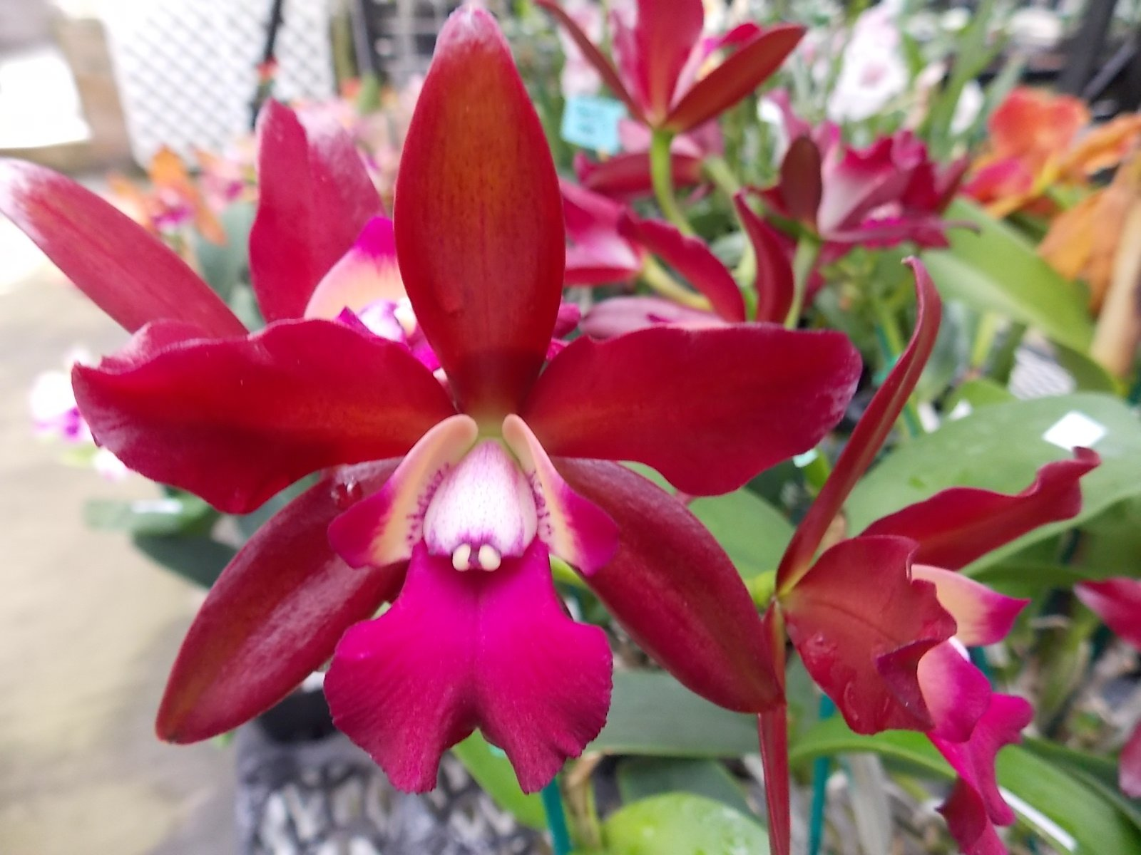 Lc. Sagarik Wax 'NN' Waxy Red! Fragrant! Easy to grow Orchid Plant! Nice! by Kawamoto Orchid Nursery (Image #1)