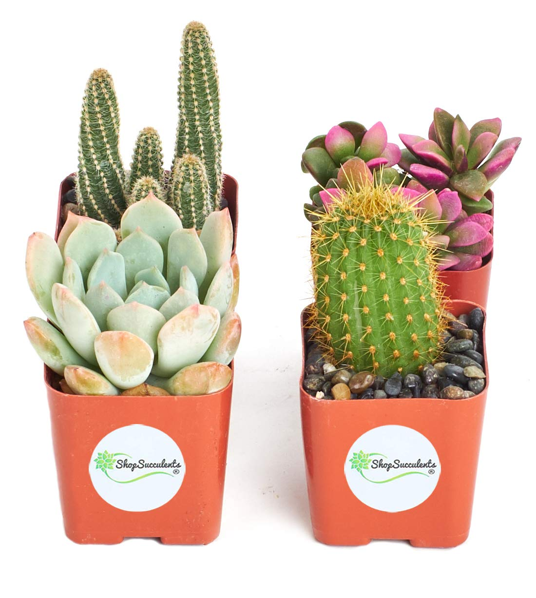 Shop Succulents | Cactus & Succulent Collection of Live Plants, Hand Selected Variety Pack of Cacti and Mini Succulents | Collection of 4 in 2'' pots by Shop Succulents