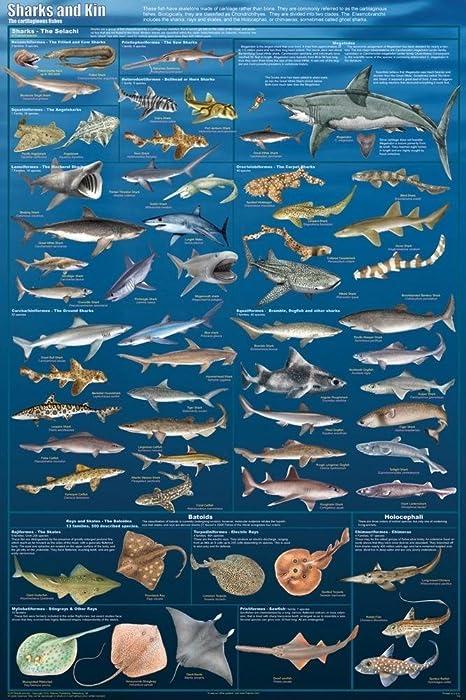 Laminated Sharks and Kin Poster Great White Thresher Hammerhead Skates Rays 24x36