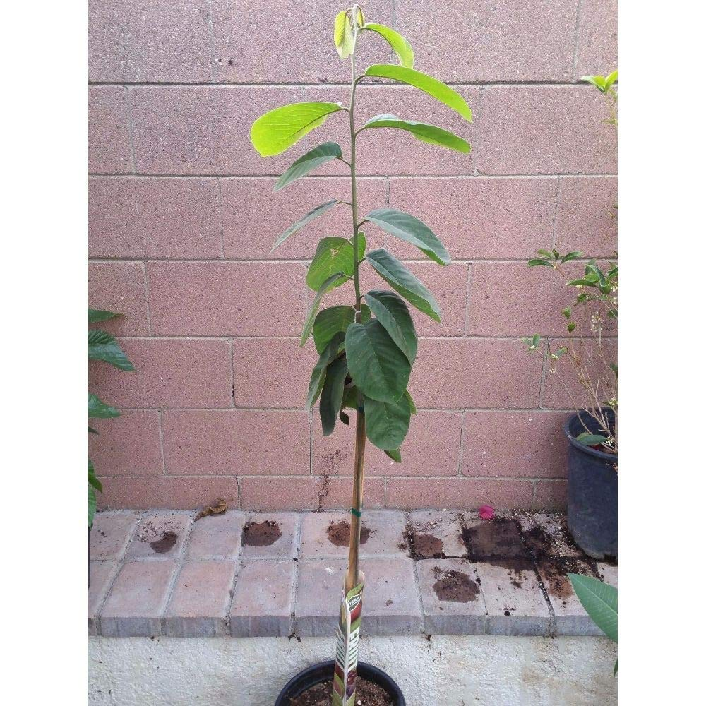 Honeyhart Cherimoya Tropical Fruit Trees 3-4 Feet Height in 3 Gallon Pot #BS1 by iniloplant (Image #2)