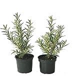 Grüner Garten Shop Sanddorn 2er Set Tytti + Tarmo weibliche + 1 männliche Sanddornpflanze sehr robust und reichtragend