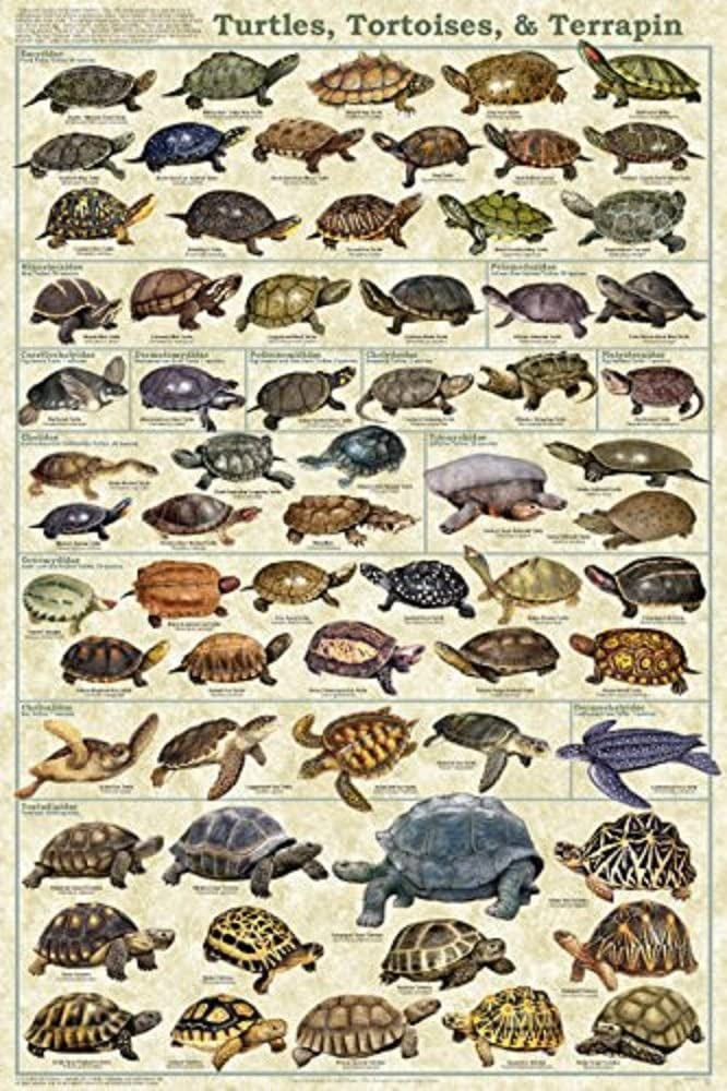 Turtles, Tortoises, & Terrapin Laminated Educational Science Animal Chart Print Poster 24x36