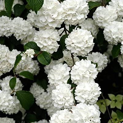 Snowball Viburnum Starter Hedge Kit, Live Bareroot Shrubs, 12 to 18 inches Tall (5-Pack) - Just $10.00 per Plant Delivered! : Garden & Outdoor