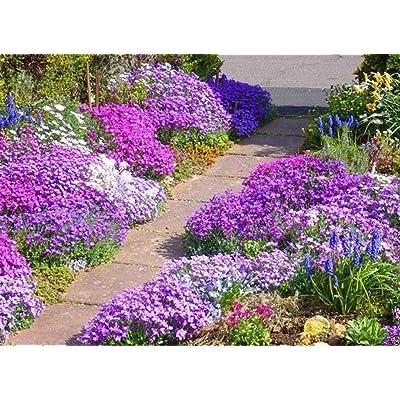 200 Rock Cress Seeds - Royal Mix (Aubrieta Hybrida) compact, ground cover : Garden & Outdoor