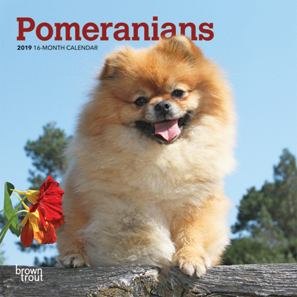 Pomeranians 2019 7 x 7 Inch Monthly Mini Wall Calendar, Animals Small Dog Breeds (Multilingual Edition) (Multilingual) Calendar – Mini Calendar, Wall Calendar Inc. BrownTrout Publishers 1465099778 General Reference