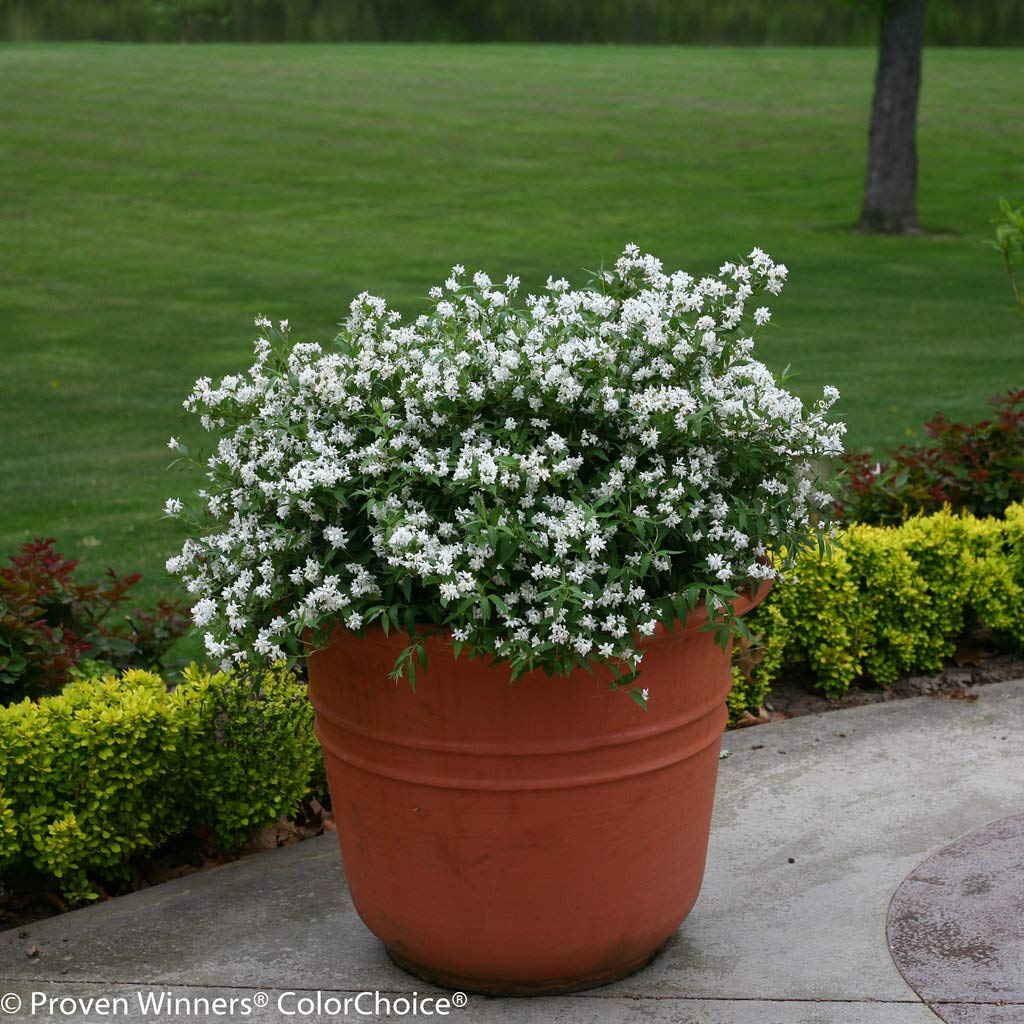 Proven Winners - Deutzia Yuki Snowflake (Yuki Snowflake Deutzia) Shrub, white flowers, #3 - Size Container