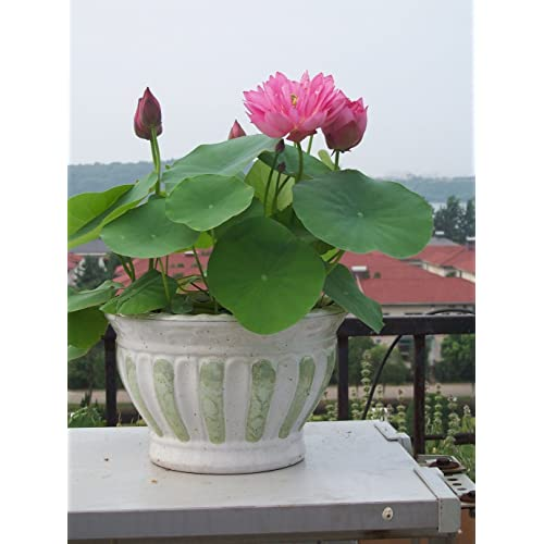 Lotus plant buy lotus plant online at best prices in india amazon generic perfarmers 10 pcs lotus flower seeds with activator liquid organic seed starter mightylinksfo