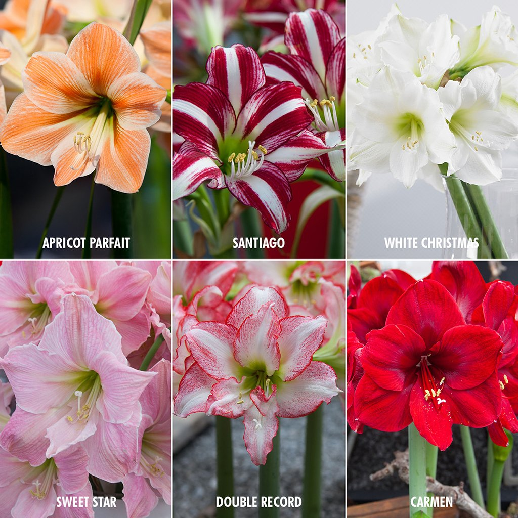 Van Zyverden Exotic Amaryllis For Collectors Set of 6 bulbs