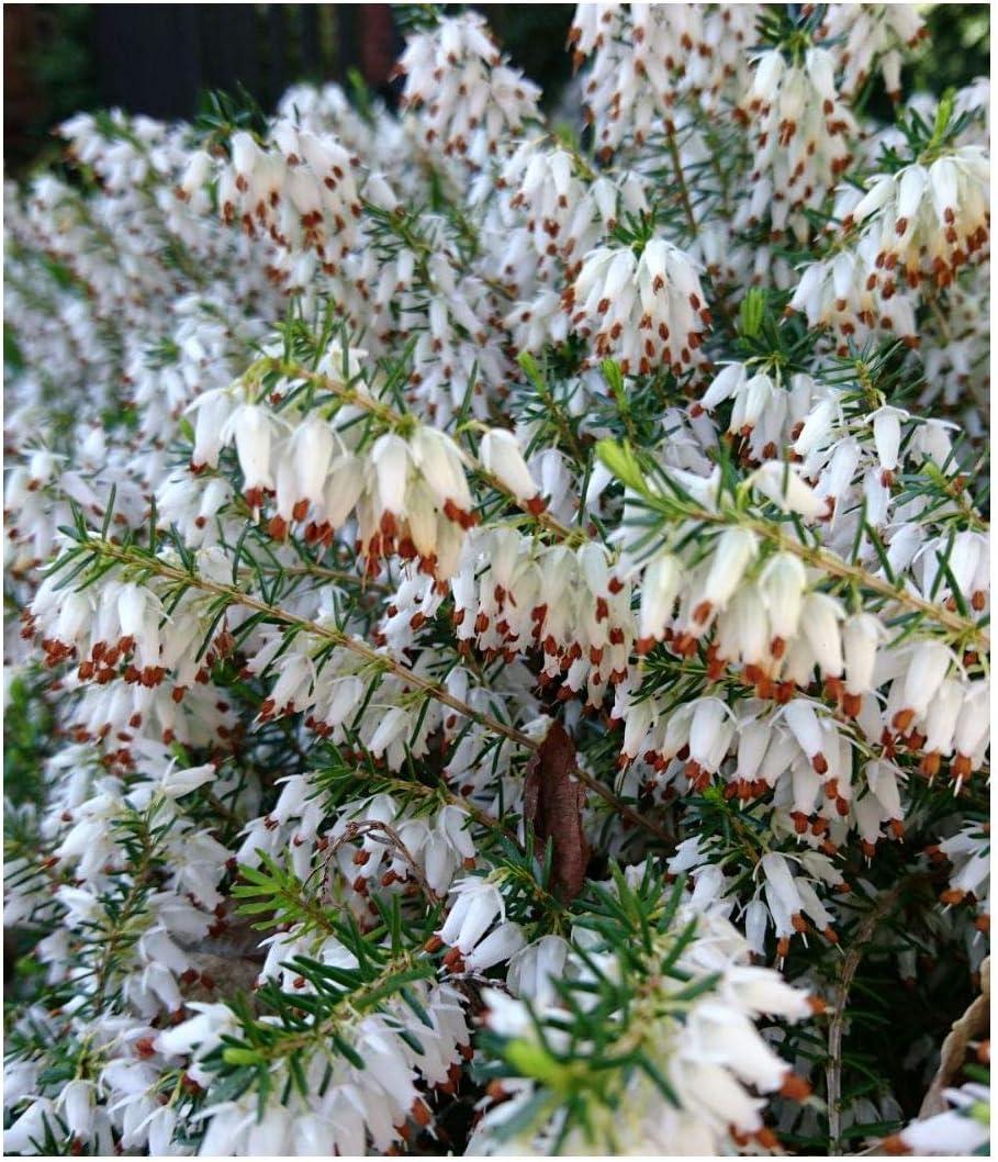 Flores blancas perfumadas Erica herbacea, brezo de invierno o brezo de primavera, macetas de 9 cm, pack de 3: Amazon.es: Jardín