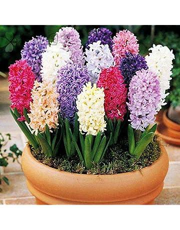 Sunlera 100 piezas/bolso Semillas Semillas del jacinto en maceta de flores para Bonsai casera