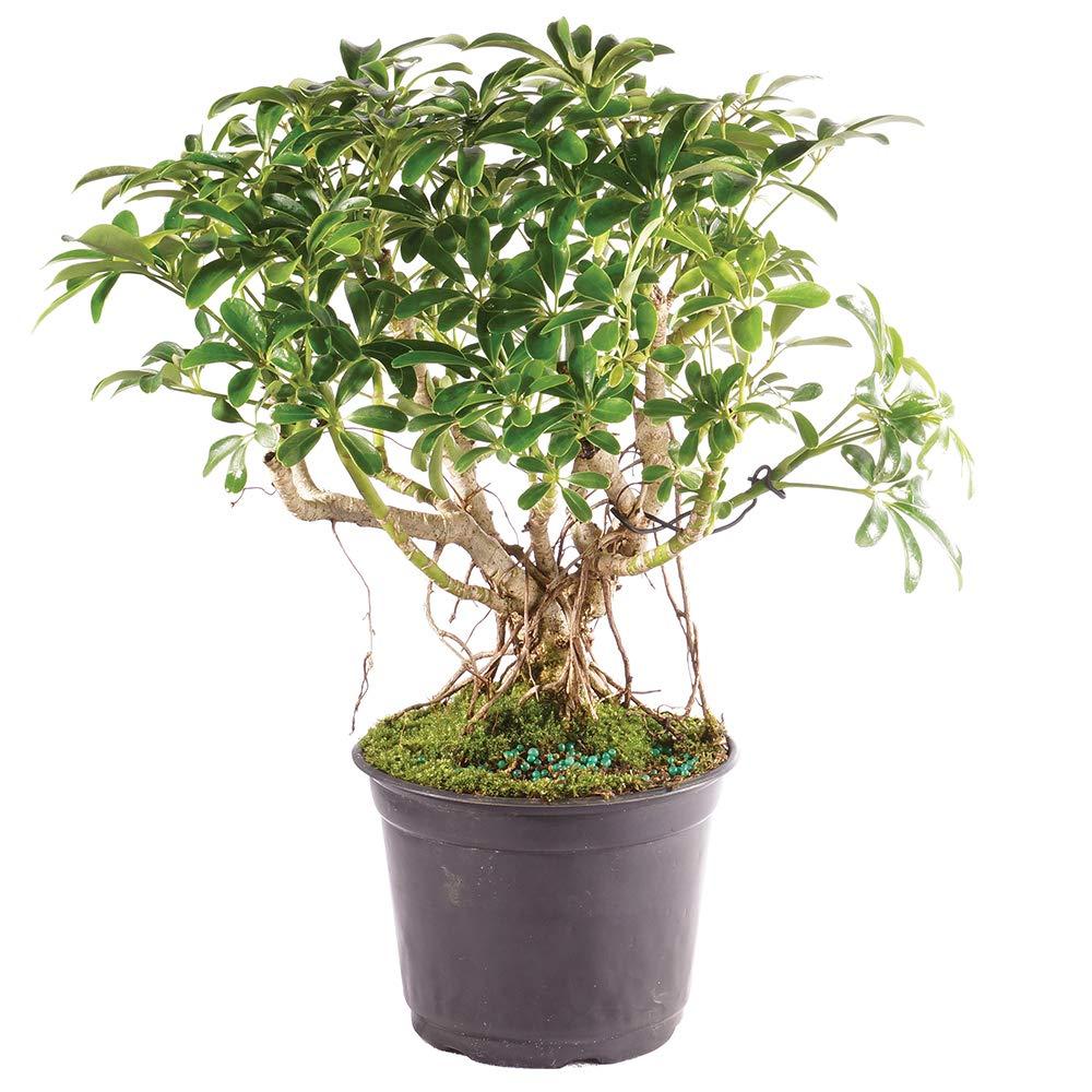 Brussel's Bonsai Live Hawaiian Umbrella Indoor Bonsai Tree - 5 Years Old 8'' to 12'' Tall with Plastic Grower Pot, Medium,