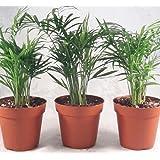 "Victorian Parlor Palm - Chamaedorea - 4"" Pot - 3 pack Live Plant unique from jmbamboo"