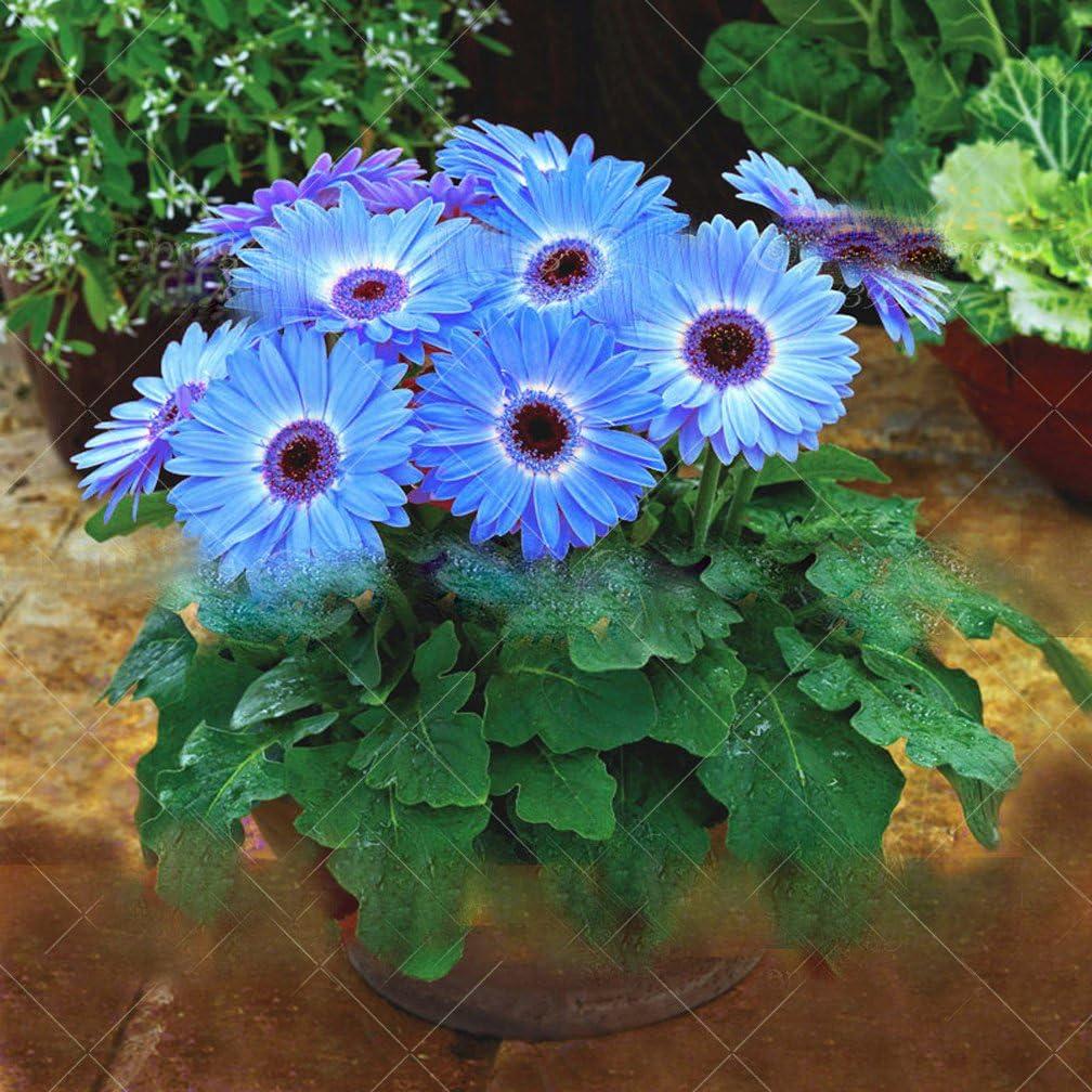 100 pcs/Bag Chrysanthemum African Rare Blue Eyed Daisy Seeds Flower Seeds for Home Garden Plant