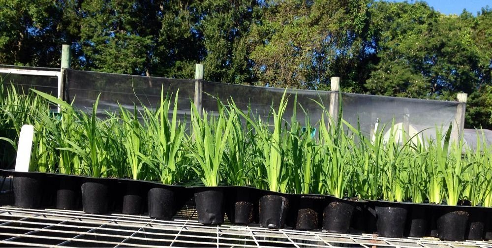 African Iris White Qty 15 Live Plants Groundcover