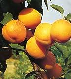 ALBICOCCO DOLCE 'NINFA' - albero da frutto da esterno pianta vera