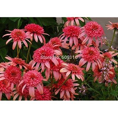 Echinacea 'Secret Passion' Flower Seeds, 100 Seeds / Pack, New Coneflower 100% True Variety KK088 : Garden & Outdoor