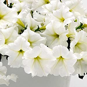 Petunia - Easy Wave Flower Garden Seed - 100 Pelleted Seeds - White Blooms - Annual Flowers - Spreading Low Growing Petunias