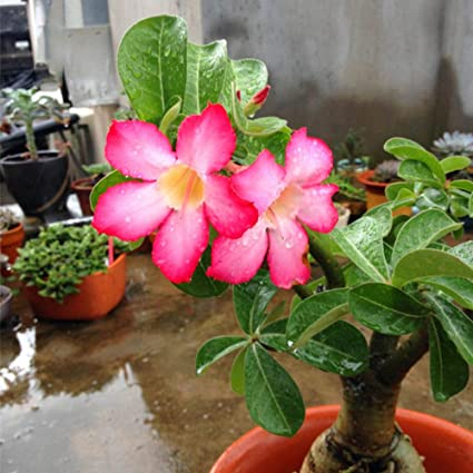 Amazon zlking 2 pcs china pink desert rose seeds plants zlking 2 pcs china pink desert rose seeds plants flowers bonsai rare hot items sale for mightylinksfo