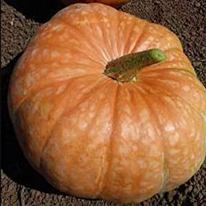 Amish Pie Squash Seeds - 4 Grams ~25 Seeds - Heirloom, Open Pollinated, Non-GMO, Farm & Vegetable Gardening Seeds - Winter Squash/Pumpkin