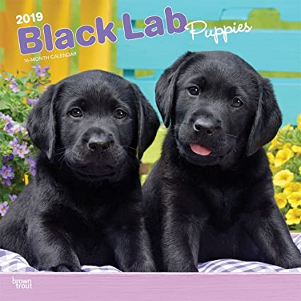Amazoncom 2019 Lab Retriever Black Puppies Wall Calendar Black