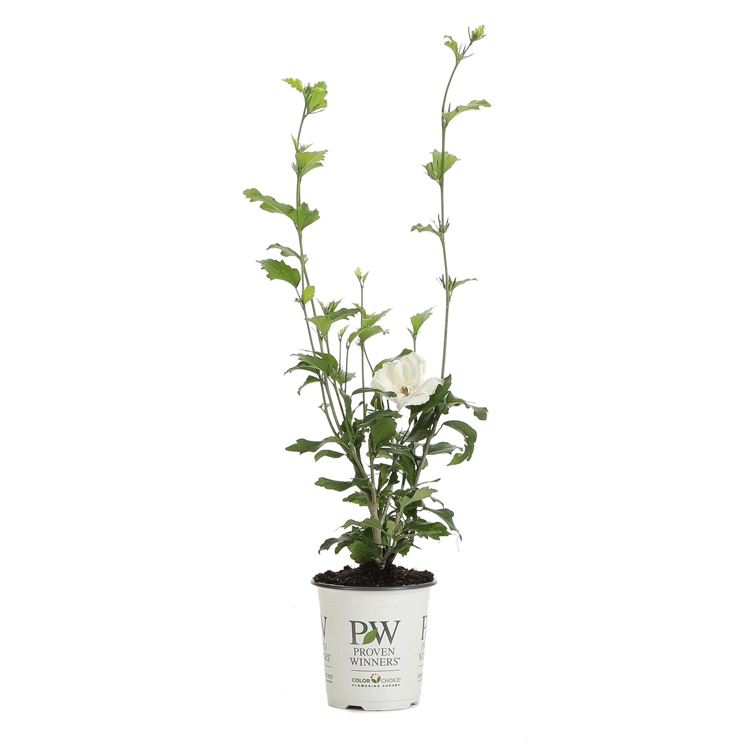 White Chiffon Rose of Sharon (Hibiscus) Live Shrub, White Flowers, 4.5 in. Quart