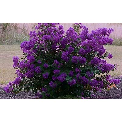 Purple Velvet Miniature Crape Myrtle, Pack of 5, Darkest Purple Flower Available, Matures 4'-5' (1'-1.5' When Shipped, Well Rooted with Pots in Soil) : Garden & Outdoor