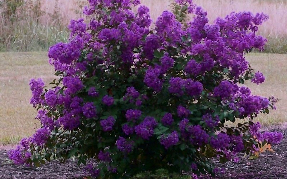 PURPLE VELVET Miniature Crape Myrtle, 1 Plant, Darkest Purple Flower Available, Matures 4'-5' (6''-1' Tall When Shipped, Well Rooted with Pots in Soil)