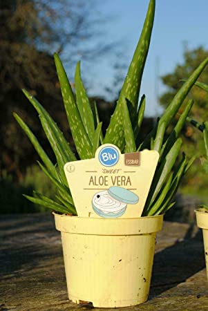 Sweet Aloe Vera Essbare Aloe Vera Barbadensis Miller Frische