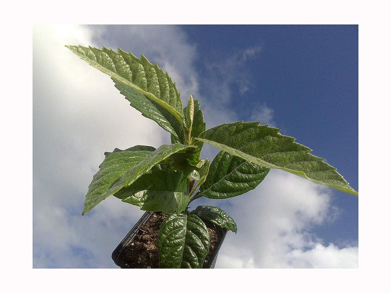 FRUIT TREE JAPANESE MEDLAR or LOQUAT Eriobotrya japonica plant SMALL EVERGREEN FRUIT TREE - 10cm tall starter plant