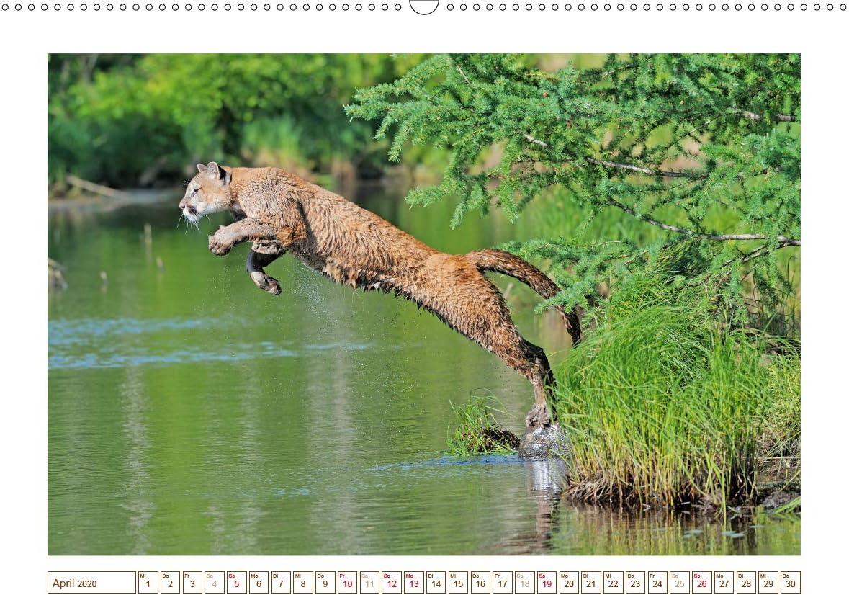 Calvendo Premium Kalender Puma: Auf leisen Pfoten: Pumas
