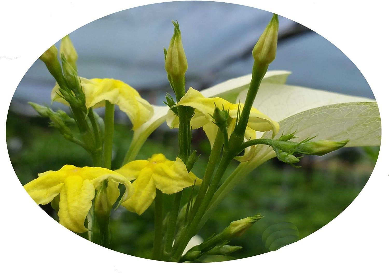 Amazon Com Mussaenda Glabra White Winged Unusual Yellow