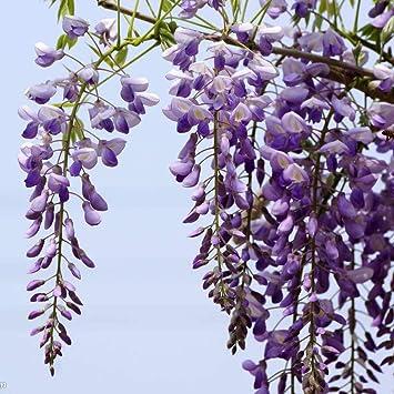 graines! Wisteria sinensis Fleurs violettes