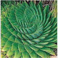 Exotic Plants Aloe polyphylla - Aloe en Espiral - 3 Semillas