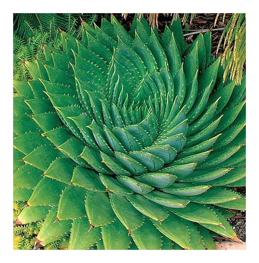 Aloe polyphylla - spiral aloe - 3 seeds Exotic Plants