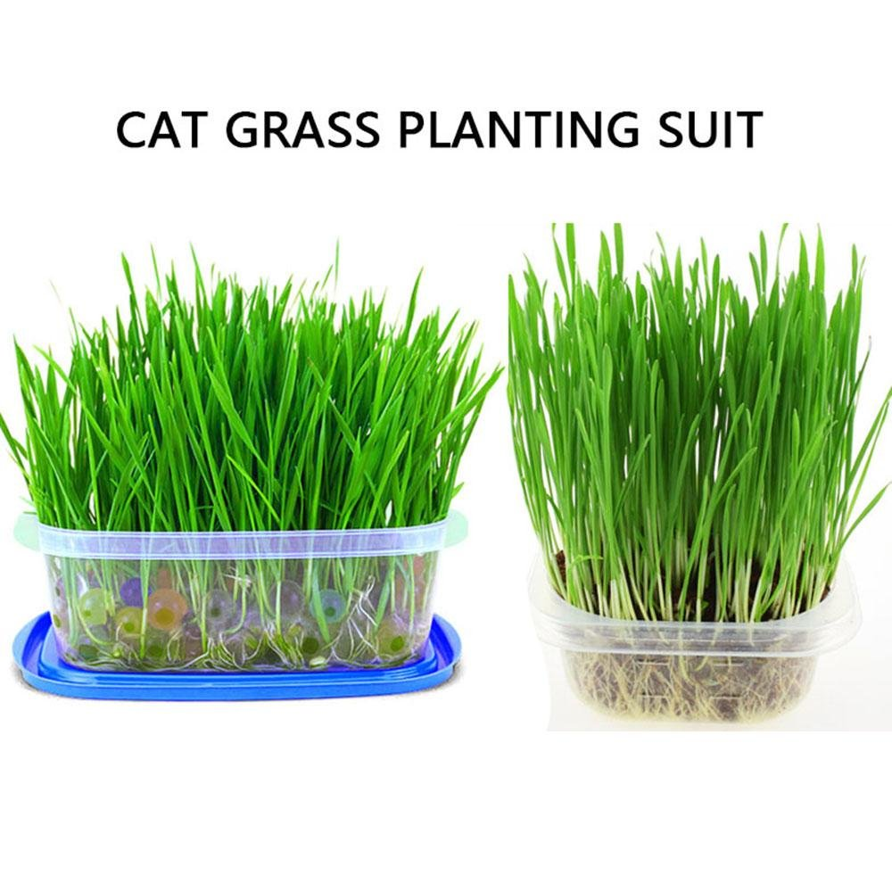 KOBWA Natural Cat Grass Planting Kit - Soilless Fast Growing Wheatgrass Panting Set with Box for Hairball Control - Crystal Balls