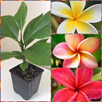 Plumeria Frangipani scented WHITE colour blooming size 3 ft plants in 5 ltr pot