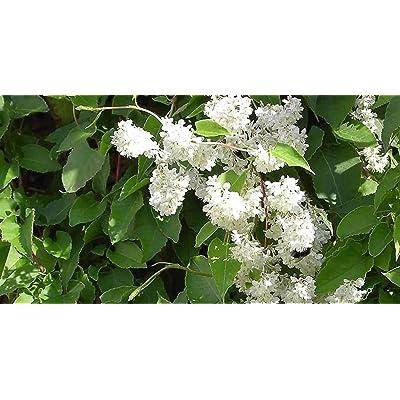 20 Seeds Polygonum Aubertii Silverlace Vine Garden tkgre : Garden & Outdoor