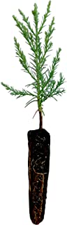 product image for Giant Sequoia | Live Tree Seedling (Small) | The Jonsteen Company