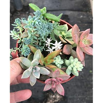 Plant-Mixed Sedum Variety Stonecrop Fairy Garden Mini Succulent Rare Rooted : Garden & Outdoor