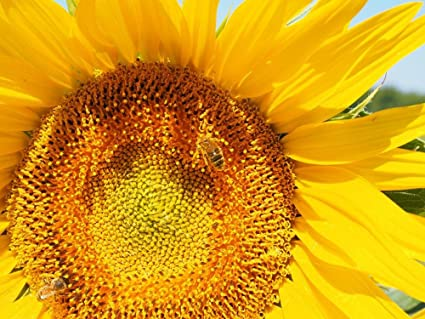 Amazon laminated 32x24 inches poster sun flower bee blossom laminated 32x24 inches poster sun flower bee blossom bloom nectar inflorescence flower basket flower yellow mightylinksfo
