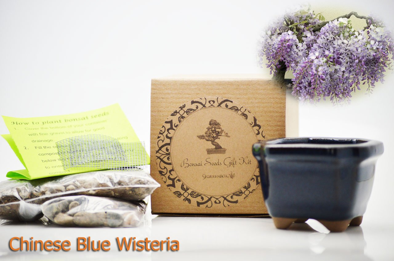 Set of 2 Chinese Blue Wisteria Bonsai Seed Kit- Gift - Complete Kit