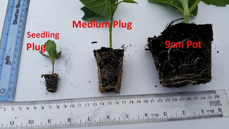 Beetroot plants /'Golden/' 6 x medium plugs
