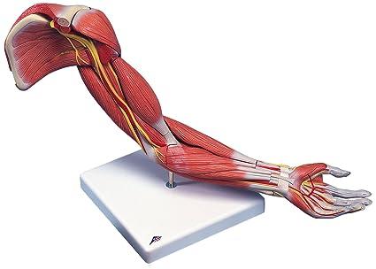 3B Scientific M11 Modelo de anatomía humana Brazo Con Músculos de ...
