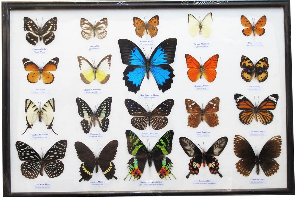 REAL MIX BEAUTIFUL BUTTERFLIES FRAMED DISPLAY INSECT TAXIDERMY