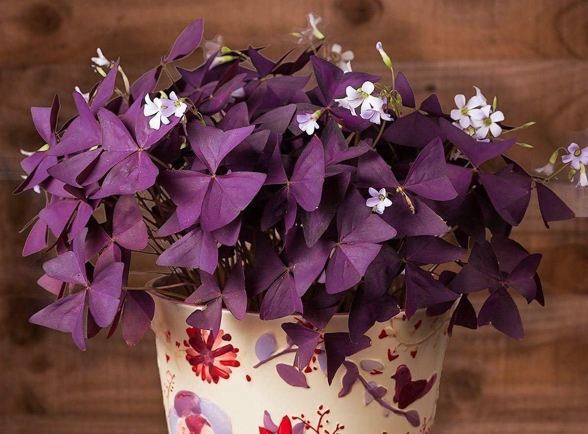 Oxalis Triangularis (20bulbs) - Purple Shamrocks